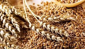 На Закарпатті намолочено 2737,0 тис ц зернових та зернобобових культур