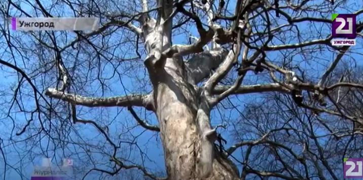 Найстарішим деревам Ужгорода – понад 400 років (ВІДЕО)